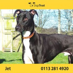 Jet at Dogs Trust Leeds was found as a stray and spent many months in the local pound. They failed to find him a home probably because he isn't cute and fluffy so he has come to Dogs Trust. Jet is a little shy at first and may take time to settle into a new home after a long stay in kennels.
