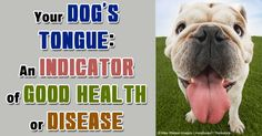 Your dog's tongue is a long, muscled, versatile organ that has many important functions. http://healthypets.mercola.com/sites/healthypets/archive/2013/08/26/dog-tongue.aspx
