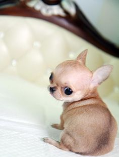 Is this not the littlest Chihuahua you ever did see?  #puppied
