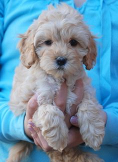 Labradoodle... In honour or national (international?) puppy day, here's one I dream of getting!