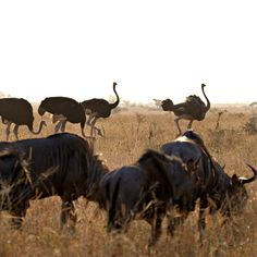 Some Blue Wildebeest and  Ostriches grazing in the afternoon sun in the plains of Satara Kruger National Park. Kruger National Park, National Parks, Blue Wildebeest, Ostriches, Animals, Animales, Animaux, Animal, Animais