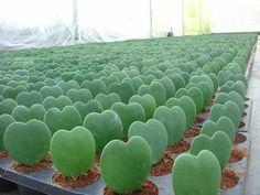 pot of Hoya lady heart cactus