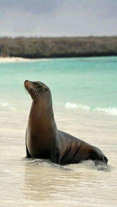 Focas Las focas se encuentran en todo el mundo y existen 33 especies conocidas de estos mamíferos marinos. Entran en una categoría de animales conocidos como los pinnípedos, debido al hecho de que tienen aletas en las extremidades. Dependiendo de la especie de foca, existe gran diferencia entre los tamaños, las más grandes pueden ser de unos 16 pies de largo y la más pequeña de solo unos cuatro pies de longitud.