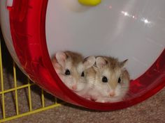 """Types of Hamster Breeds – Although the Expression """"hamster"""" Describes Roughly 24 species of small rodents, that there are only approximately five located in the pet industry. Below is a list of the most common types found as pets. #TypesofHamsterBreeds #hamster #hamstersaspetsdiy"""