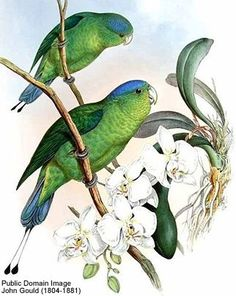 Blue-crowned Racket-tailed Parrots