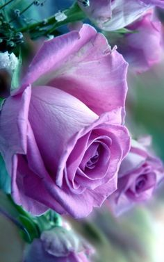 Beautiful Rose Flowers, All Flowers, Amazing Flowers, Pretty Roses, Exotic Flowers, Lavender Roses, Purple Roses, Bloom Where Youre Planted, Rose Care
