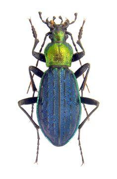 Megodontus kolbei