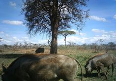 Three warthogs at once!