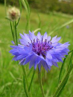 Cornflower sensory-garden-sight