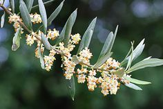 Olive Tree in Flower