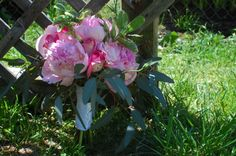 Rustic peony bouquet.  Beautiful pink peonies, roses, lisianthus, and seeded eucalyptus.  www.the-petal.com