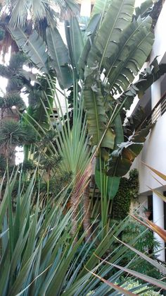 "The leaf of the #Banana plant has traditionally been used to cook the popular #Parsi delicacy, ""Patra-nu-Maachi"" (fish in banana leaf). See it standing tall at the entrance of the @Beach_Luxury #Hotel, #Karachi (please visit us at http://avari.com/property/beach-luxury & ""Like"" us on FB- https://www.facebook.com/beachluxuryhotel)"