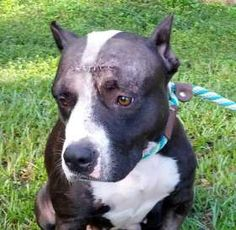 An investigation is under way in Jacksonville, Florida on the abuse of a pit bull mix named Flo. On Friday morning Flo was found with severe head injuries. She was brought to the Jacksonville Humane Society where they performed emergency surgery to save her life.