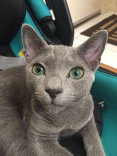 Russian Blue Kitten, Blues, Cats, Animals, Gatos, Animales, Animaux, Animal, Cat