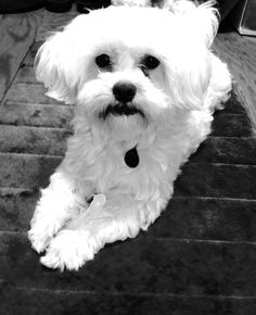 Charlie Brown - Maltese - black and white photo