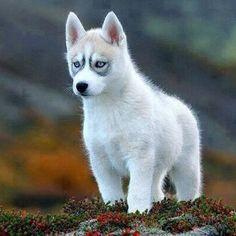 Siberian Husky Pup #Padgram