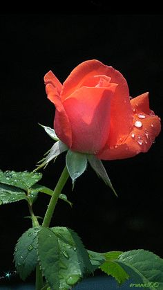 Rose for you, Suz Beautiful Flowers Wallpapers, Beautiful Gif, Beautiful Roses, Amazing Flowers, My Flower, Pretty Flowers, Flowers Gif, Red Flowers, Orange Roses