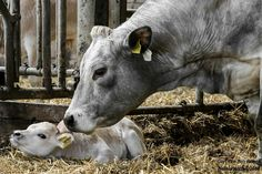 Cow with babe Farm Animals, Animals And Pets, Funny Animals, Cute Animals, Animal Memes Clean, Baby Cows, Mundo Animal, Cattle, Beautiful Creatures