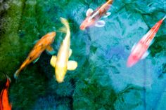 Photograph Autumn colored Koi in the Turquoise Pond  - 8x12. 25.00, via Etsy.