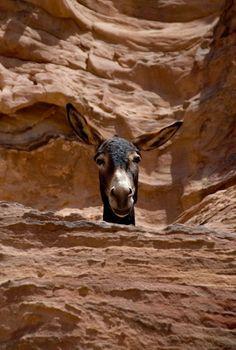 """maya47000: """"Como los camellos en tierra, los burros son el medio de transporte predilecto para escalar las cumbres."""" Cortesía: Rober Dam (Paraguay). """""""