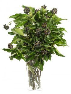Efeu mit Beeren als floristisches Beiwerk für Blumensträuße gern verwendet. Jetzt entdecken auf Blumigo.de. Saison im Oktober, November, Dezember, Januar, Februar und März. #schnittblume #blumen #blau #grün #hochzeit #hochzeitsblumen #hochzeitsdeko #blumendeko #weddingflowers #floristik