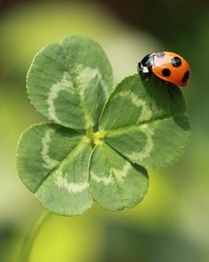 Clover (Trifolium repens) Lady Bug on a four leaf clover; how lucky can you get  !!: