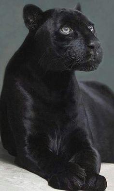 Zwarte panter.