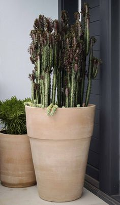 The natural texture and organic pale finish of these terracotta pots blend well in any garden setting, looking beautiful whether planting with cacti and succulents, palms or more traditional shrubs and topiary ©Garden life Topiary Garden, Garden Planters, Planter Pots, Cacti And Succulents, Planting Succulents, Cactus Plants, Glass Cactus, Orchid Care, Terracotta Pots