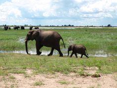 Mama and baby elephants in Chobe National Park, Botswana