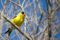 Yellow Finch Perched.jpg | by robertbriggs2
