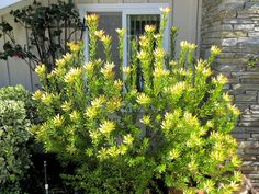 Late to the Garden Party: My favorite plant this week: Leucadendron 'Wilson's Wonder'