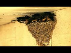 A Day (a week) in the Life of Barn Swallow Fledglings - YouTube
