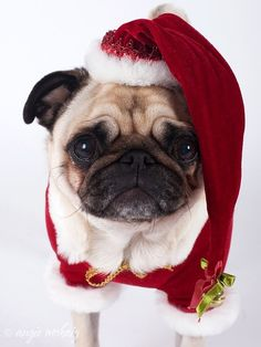 Christmas has passed, but Santa Pug is here to stay!