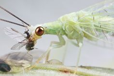 Green lacewing eating aphid 4 by pbertner, via Flickr