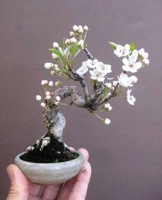 Flowering Bonsai…    Flowering Bonsai Flowering Bonsai…
