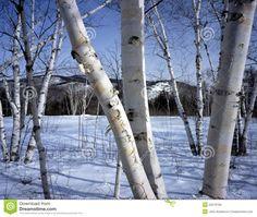 New Hampshire; White birch trees In Winter.