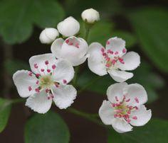 Hawthorn - Crataegus monogyna - David Nicholls - Sheet Hedges Wood - 02 May 2014 Language Of Flowers, Hedges, Spiral, David, Gardening, Wood, Plants, Projects, Log Projects