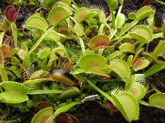 pflanzen ideen fleischfressende pflanzen pflanzen arten