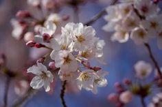 awesome Les fleurs de cerisiers flottantes aident Tokyo à secouer les blues d'hiver