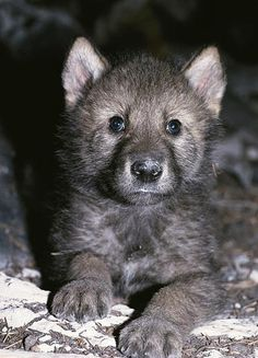 Wolf Images, Wolf Photos, Wolf Pictures, Beautiful Wolves, Animals Beautiful, Beautiful Babies, Beautiful Creatures, Baby Wolves, Wolf Husky