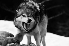 snarling wolf fight | ... fighting, shown by her rippling muscles and plentiful scars. Image 1