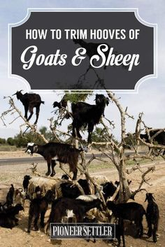 How to Trim Hooves of Goats and Sheep | Homesteading Skills, Tips and Ideas by Pioneer Settler at http://pioneersettler.com/trim-hooves-goats-sheep/