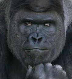 This gorilla is so handsome http://bzfd.it/1TP1iJW