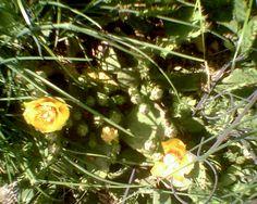 Cactus flowers 6-2014