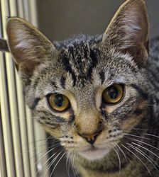 Donald is an adoptable Domestic Short Hair Cat in Wyoming, MN. Name: Donald Age: 4 months at date of arrival (7/5/2013) Breed: DSH - Tabby. How I Arrived At NHS: I was found as a stray and brought to Northwoods to find a forever home. Note From An NHS Volunteer: Donald is a playful, friendly kitten who will make a great companion.