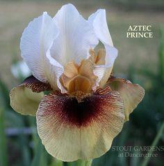 AB Iris germanica 'Aztec Prince' (Tasco, 2009)