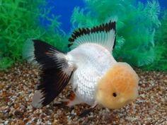Goldfish - Oranda