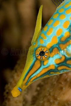 Longnose Filefish - ©Andreas Werth www.flickr.com/photos/andreaswerth/3151109225/