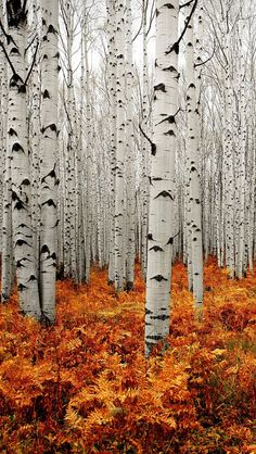 Aspen Forest is another of Colorado's extensive forest types, covering 5 million acres. The aspen is Colorado's only widespread, native, deciduous tree and can be found particularly on the West Slope. Land Art, Beautiful Sites, Beautiful Places, Beautiful Forest, Trees Beautiful, All Nature, Autumn Nature, Nature Tree, Pics Of Nature