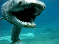 frilled shark - Google Search